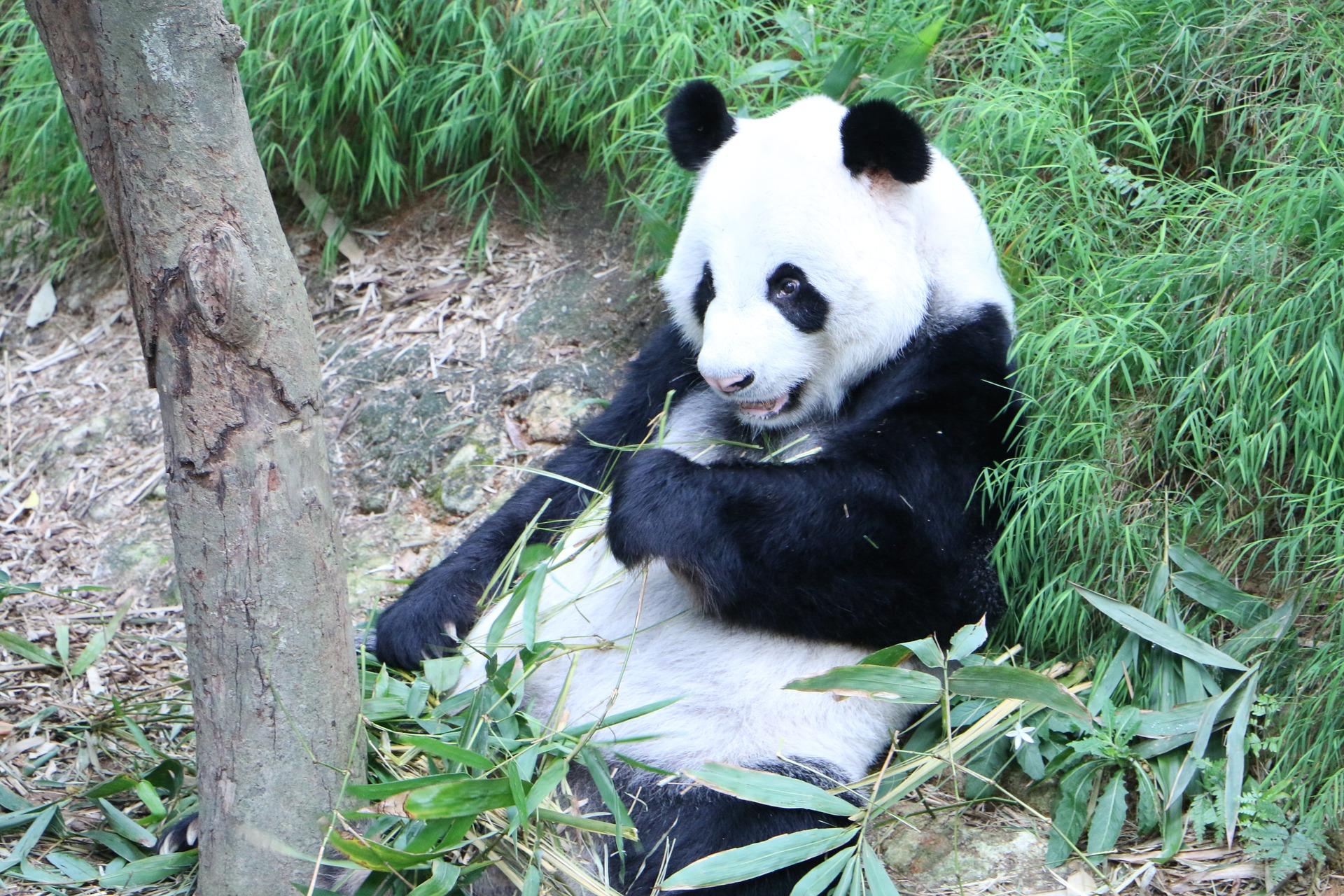 panda-2059587_1920